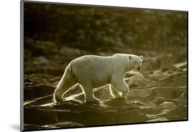 Polar Bear Walking along Hudson Bay, Nunavut, Canada-Paul Souders-Mounted Photographic Print