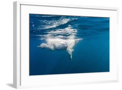 Underwater Polar Bear, Nunavut, Canada-Paul Souders-Framed Photographic Print