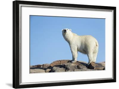 Polar Bear on Harbour Islands, Hudson Bay, Nunavut, Canada-Paul Souders-Framed Photographic Print