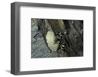 Mud Dauber Wasp Building its Nest-Paul Starosta-Framed Photographic Print