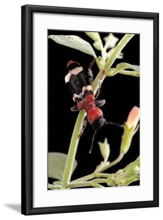 Thanasimus Formicarius (Ant Beetle, European Red-Bellied Clerid)-Paul Starosta-Framed Photographic Print