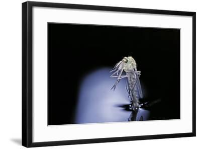 Culex Pipiens (Common House Mosquito) - Emerging (B6)-Paul Starosta-Framed Photographic Print
