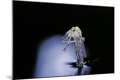 Culex Pipiens (Common House Mosquito) - Emerging (B6)-Paul Starosta-Mounted Photographic Print