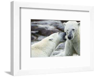 Polar Bears Sparring on Harbour Islands, Hudson Bay, Nunavut, Canada-Paul Souders-Framed Photographic Print