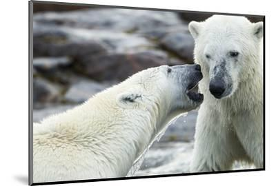 Polar Bears Sparring on Harbour Islands, Hudson Bay, Nunavut, Canada-Paul Souders-Mounted Photographic Print