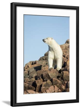 Polar Bear on Harbour Islands, Hudson Bay, Nunavut, Canada-Paul Souders-Framed Photographic Print