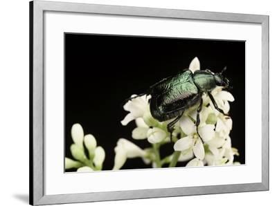Gnorimus Nobilis (Noble Chafer)-Paul Starosta-Framed Photographic Print