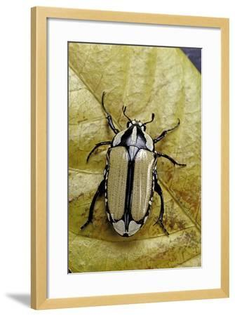 Gnathocera Bilineata (Flower Beetle)-Paul Starosta-Framed Photographic Print
