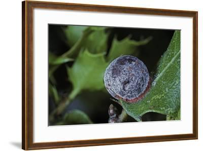 Kermes Vermilio (Kermes Berry) - Female with Larvae-Paul Starosta-Framed Photographic Print