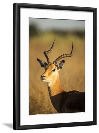 Impala, Moremi Game Reserve, Botswana-Paul Souders-Framed Photographic Print