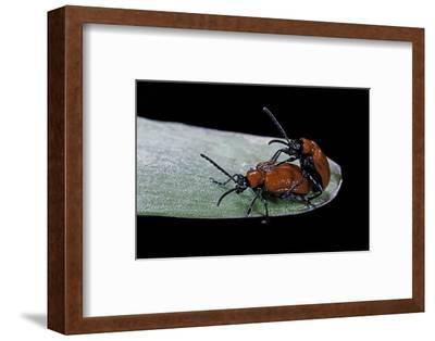 Lilioceris Lilii (Scarlet Lily Beetle, Lily Leaf Beetle) - Mating-Paul Starosta-Framed Photographic Print