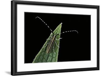 Agapanthia Cardui (Longhorn Beetle)-Paul Starosta-Framed Photographic Print