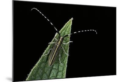 Agapanthia Cardui (Longhorn Beetle)-Paul Starosta-Mounted Photographic Print