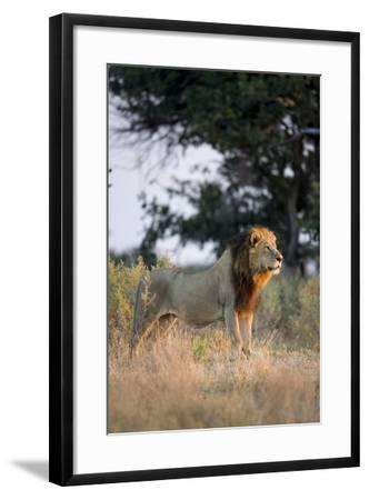 Male Lion, Moremi Game Reserve, Botswana-Paul Souders-Framed Photographic Print