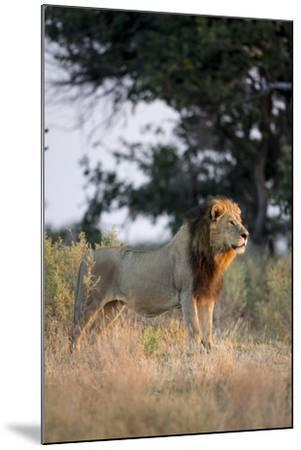 Male Lion, Moremi Game Reserve, Botswana-Paul Souders-Mounted Photographic Print