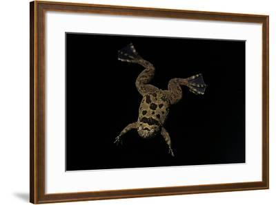 Xenopus Fraseri (Fraser's Clawed Frog)-Paul Starosta-Framed Photographic Print