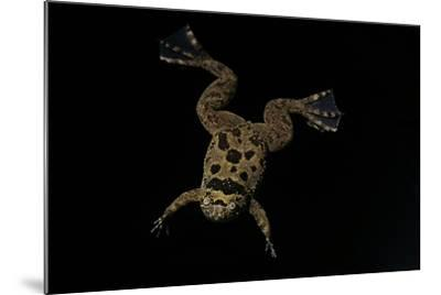 Xenopus Fraseri (Fraser's Clawed Frog)-Paul Starosta-Mounted Photographic Print
