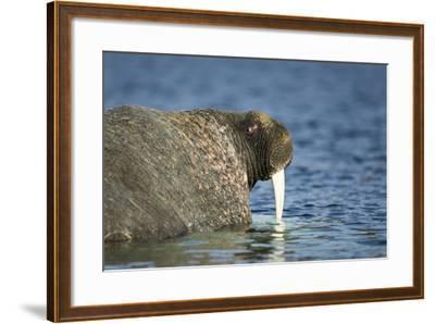 Walrus in Hudson Bay, Nunavut, Canada-Paul Souders-Framed Photographic Print