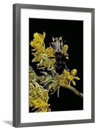 Brachyta Interrogationis (Long-Horned Beetle)-Paul Starosta-Framed Photographic Print