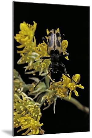 Brachyta Interrogationis (Long-Horned Beetle)-Paul Starosta-Mounted Photographic Print