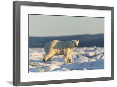 Polar Bear on Sea Ice, Hudson Bay, Nunavut, Canada-Paul Souders-Framed Photographic Print