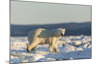 Polar Bear on Sea Ice, Hudson Bay, Nunavut, Canada-Paul Souders-Mounted Photographic Print