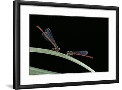 Ceriagrion Tenellum (Small Red Damselfly)-Paul Starosta-Framed Photographic Print