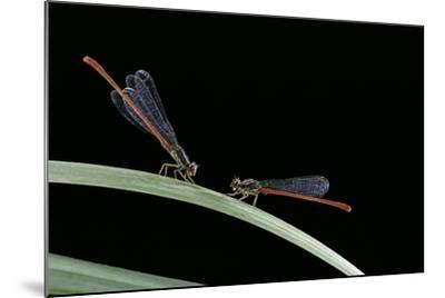 Ceriagrion Tenellum (Small Red Damselfly)-Paul Starosta-Mounted Photographic Print