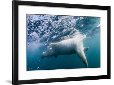 Underwater Polar Bear by Harbour Islands, Nunavut, Canada-Paul Souders-Framed Photographic Print