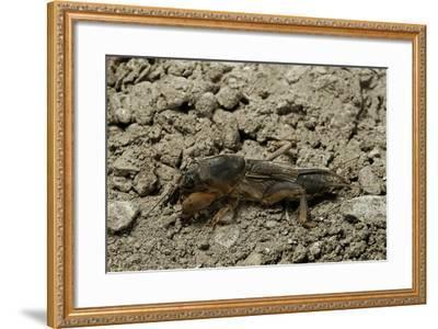 Gryllotalpa Gryllotalpa (European Mole Cricket)-Paul Starosta-Framed Photographic Print