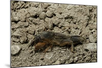 Gryllotalpa Gryllotalpa (European Mole Cricket)-Paul Starosta-Mounted Photographic Print
