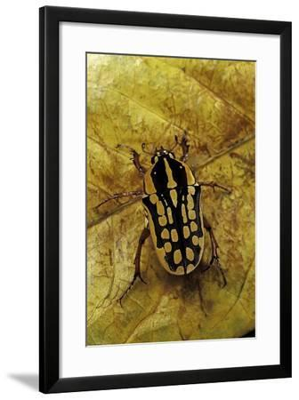 Gnathocera Impressa (Flower Beetle)-Paul Starosta-Framed Photographic Print