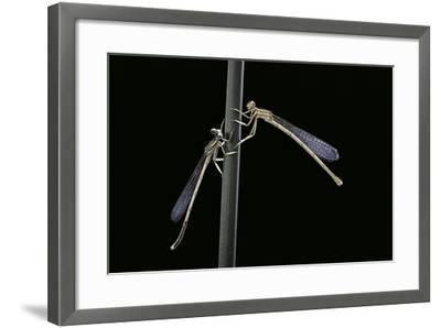 Platycnemis Pennipes (White-Legged Damselfly)-Paul Starosta-Framed Photographic Print