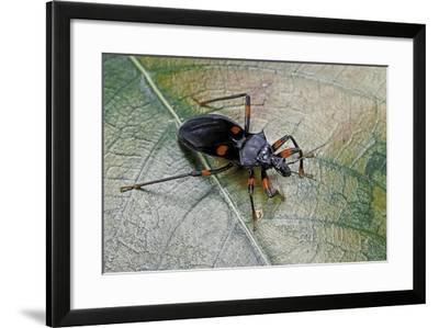 Platymeris Rhadamanthus (Red Spot Assassin Bug)-Paul Starosta-Framed Photographic Print