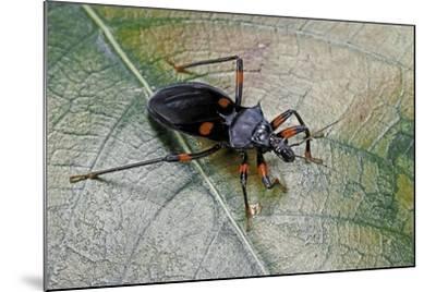 Platymeris Rhadamanthus (Red Spot Assassin Bug)-Paul Starosta-Mounted Photographic Print