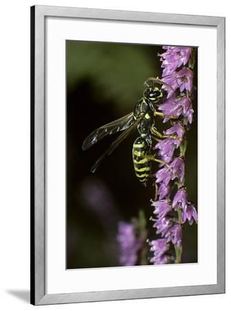 Polistes Dominula (European Paper Wasp)-Paul Starosta-Framed Photographic Print