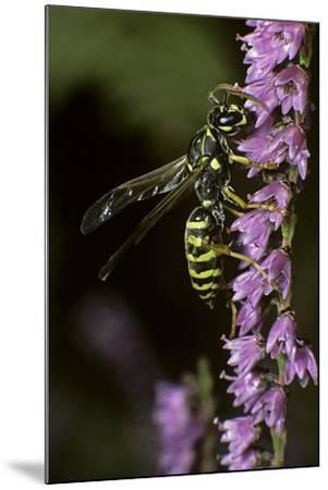 Polistes Dominula (European Paper Wasp)-Paul Starosta-Mounted Photographic Print