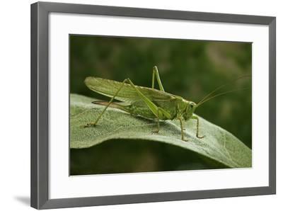 Tettigonia Viridissima (Great Green Bush-Cricket) - Female-Paul Starosta-Framed Photographic Print