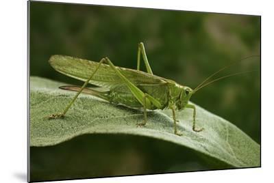 Tettigonia Viridissima (Great Green Bush-Cricket) - Female-Paul Starosta-Mounted Photographic Print