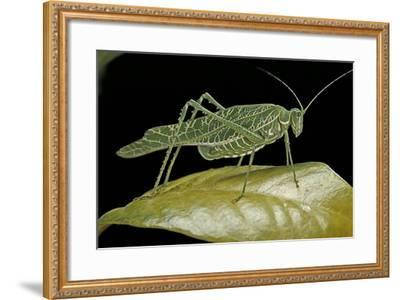 Katydid or Bush-Cricket or Long-Horned Grasshopper-Paul Starosta-Framed Photographic Print