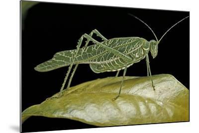 Katydid or Bush-Cricket or Long-Horned Grasshopper-Paul Starosta-Mounted Photographic Print