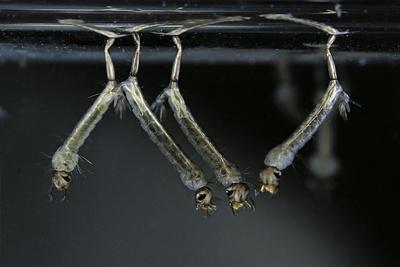 Culex Pipiens (Common House Mosquito) - Larvae-Paul Starosta-Framed Photographic Print