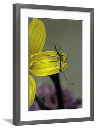 Culex Pipiens (Common House Mosquito) - on a Flower-Paul Starosta-Framed Photographic Print