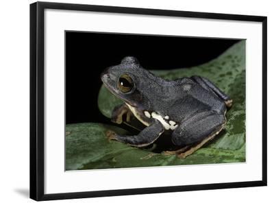 Rhacophorus Dennysi (Chinese Gliding Frog)-Paul Starosta-Framed Photographic Print
