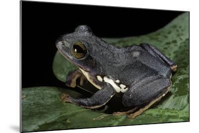 Rhacophorus Dennysi (Chinese Gliding Frog)-Paul Starosta-Mounted Photographic Print