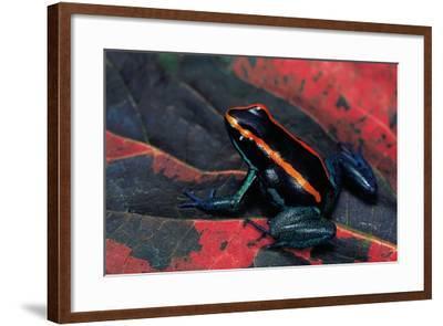 Phyllobates Vittatus (Golfodulcean Poison Frog)-Paul Starosta-Framed Photographic Print