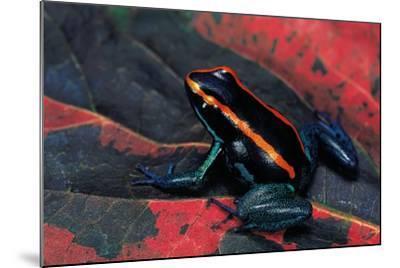 Phyllobates Vittatus (Golfodulcean Poison Frog)-Paul Starosta-Mounted Photographic Print