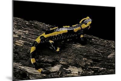 Salamandra Salamandra Terrestris (Fire Salamander)-Paul Starosta-Mounted Photographic Print