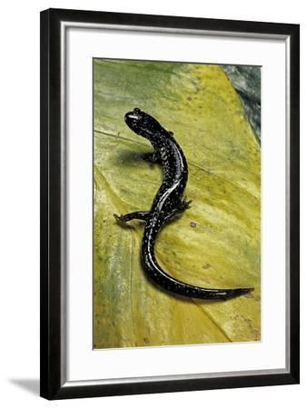 Plethodon Glutinosus (Northern Slimy Salamander)-Paul Starosta-Framed Photographic Print