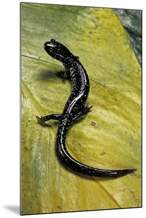 Plethodon Glutinosus (Northern Slimy Salamander)-Paul Starosta-Mounted Photographic Print